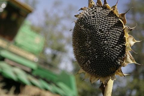 Урожай подсолнечника может превысить 14 млн тонн