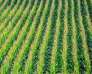 «Черкизово» и «Мираторг» планируют нарастить сбор кукурузы