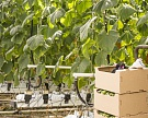 «Фабрика овощей» вышла на плановую мощность почти в 20 тысяч тонн