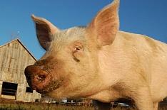 Калининградская область запретит населению разводить свиней