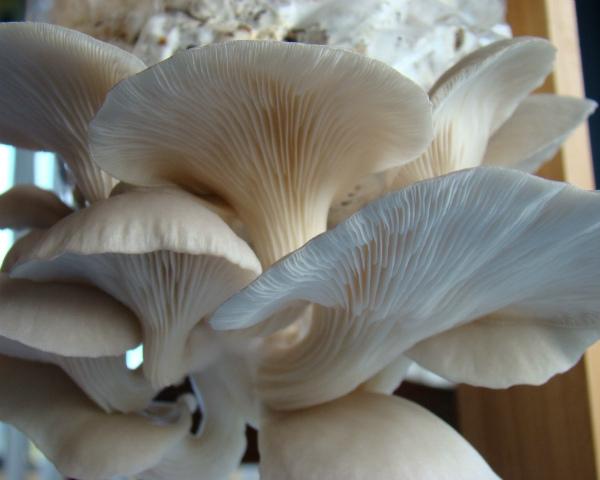 ВКраснодарском крае возведут крупное производство повыращиванию грибов