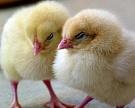 Маржа птице- и свиноводов снизится вдвое