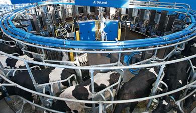 Молочный КРС вдинамике