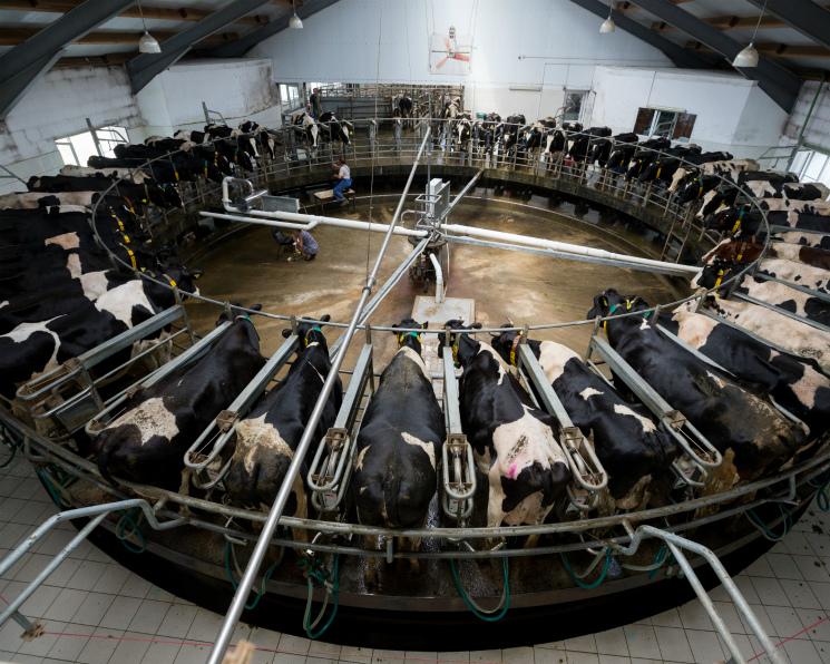 «ЭкоНива» вышла напроизводство тысячи тонн молока всутки