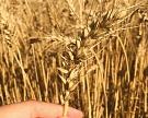 IGC повысил прогноз по производству зерна в России до 110,8 млн тонн