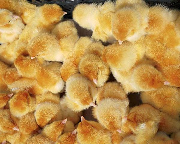 «Белая птица» из-за отключения электроэнергии лишилась 150 тыс. цыплят на площадке в Курской области