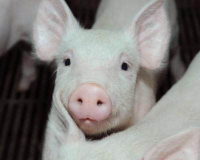 «Агро-Белогорье» стала племзаводом потрем породам свиней