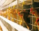 «Раевская птицефабрика» идет с молотка