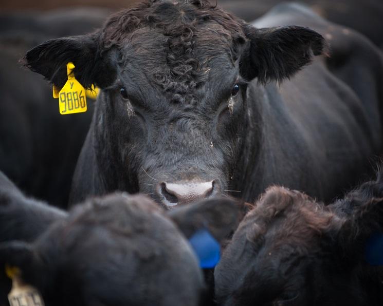 «Мираторг» увеличил производство говядины на19%
