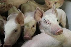 Минсельхоз озвучил прогноз развития животноводства в 2019 году