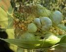 Настраже кукурузы