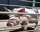 Двадцатка крупнейших свиноводов произвела в 2014 году почти 60% свинины