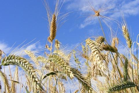 Роста экспортных цен на пшеницу ждать не стоит