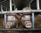 Цены на свинину снизились на 33% благодаря новым поставщикам и контрабанде