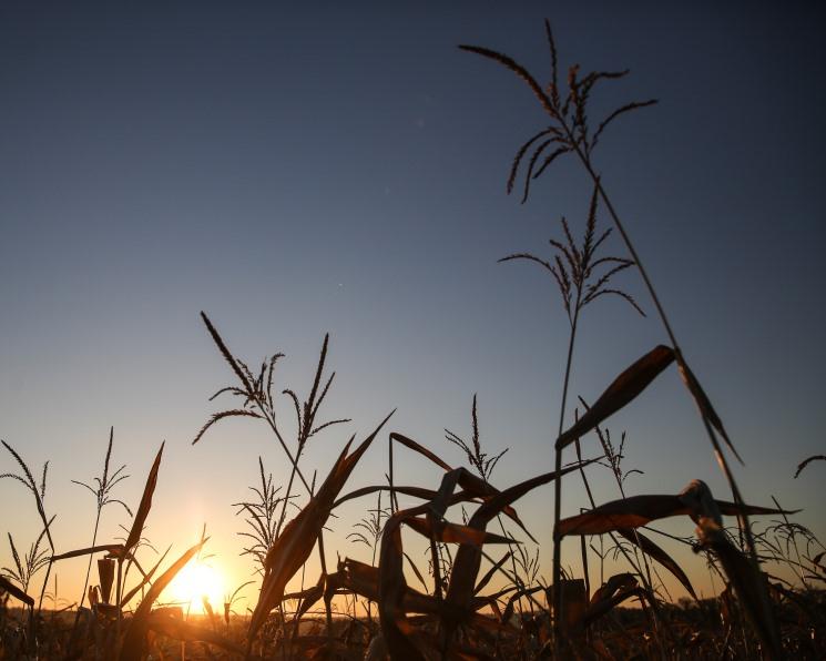 Кукурузные колебания. Продолжится ли рост интереса к этой культуре