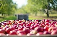 Урожай яблок может увеличиться до 800 тысяч тонн