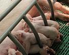 Производство свинины в2016 году увеличится нарекордные 300 тысяч тонн