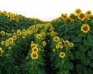 Масложировая отрасль Ростовской области нуждается в росте качества продукции