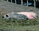 Мелкие фермерские хозяйства постепенно уходят из свиноводства