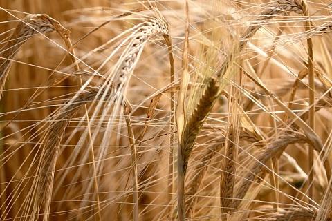 Урожай ржи может обновить антирекорд