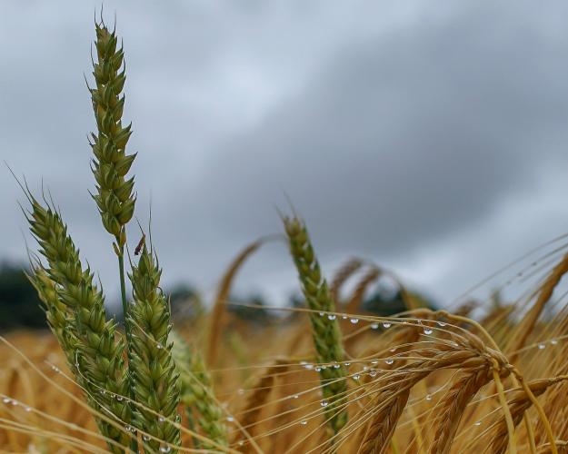 ФАО снизила прогноз мирового производства пшеницы из-заЕС