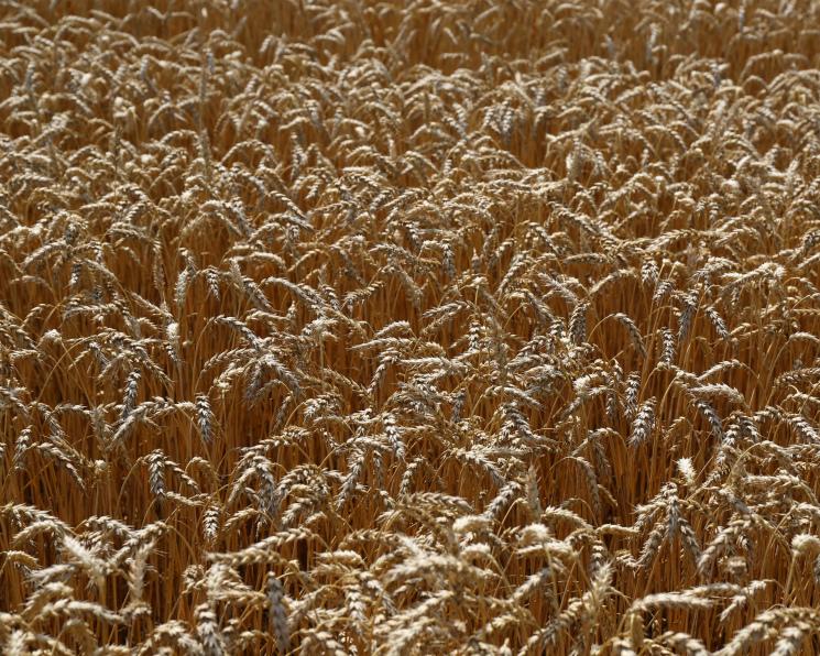 Минсельхоз признал рекордный урожай зерна
