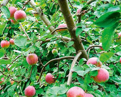 Агро-Белогорье высадило 55 тыс. саженцев яблони в Белгородской области
