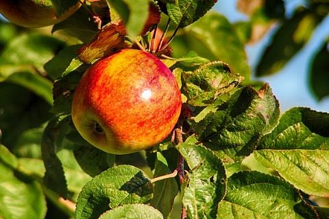 Крупнейший производитель яблок вдвое увеличит производство в Ингушетии