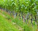 Реестр виноградников заработает в 2017 году