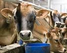 Кормовые добавки помогут коровам пережить жару