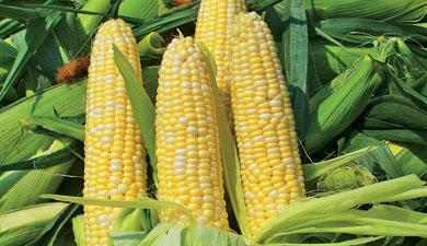 Кукурузная аномалия