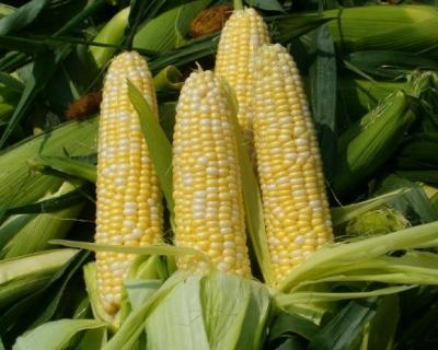 Урожай кукурузы вэтом году может достичь 12,6 млн тонн