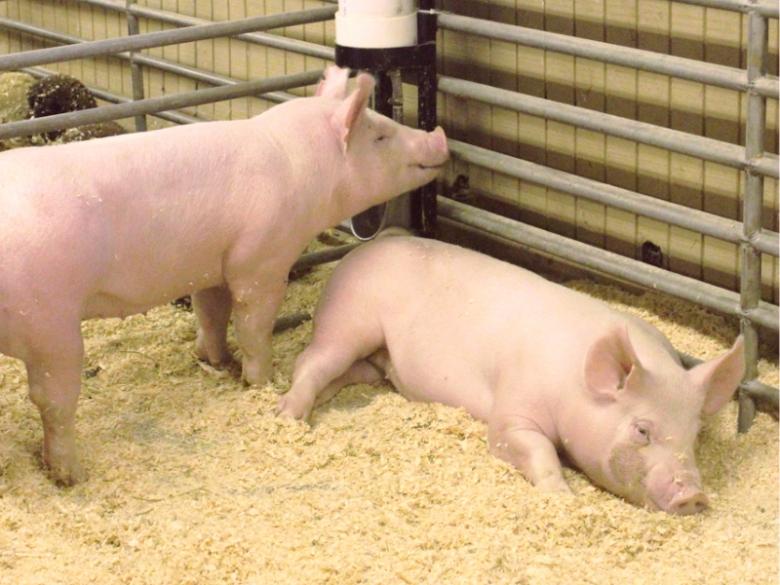 Крупнейший проект СГЦ— в свиноводстве
