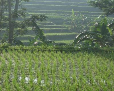 Крым снизит производство риса
