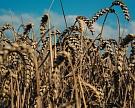 Пшеница продолжает стремительно дешеветь