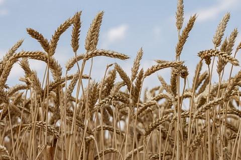 Минсельхоз: жара незначительно повиляла на состояние посевов