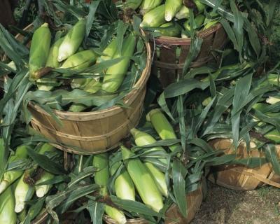 Россия начала поставки кукурузы вЯпонию