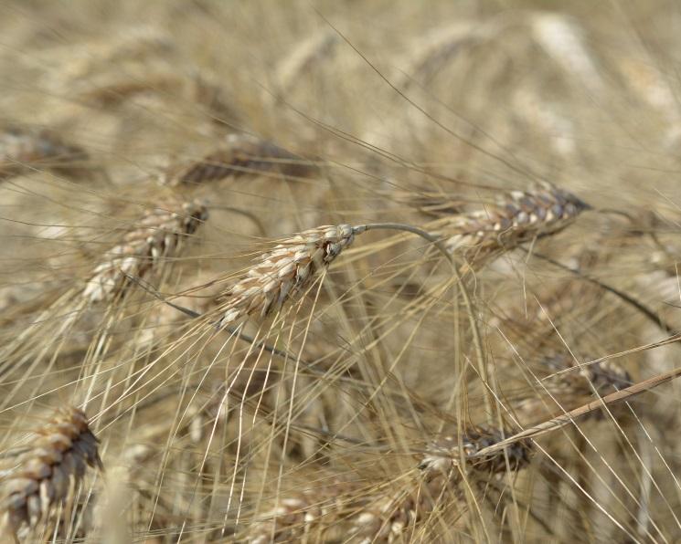 Сахалин получил первый за30 лет урожай зерновых
