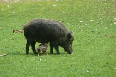 Карантин по чуме свиней введен в двух регионах