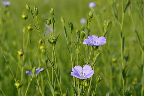 «Промагро» засеял первые 2,5 тысячи гектаров льном