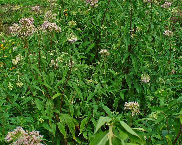 Ротация гербицидов может быть неэффективна