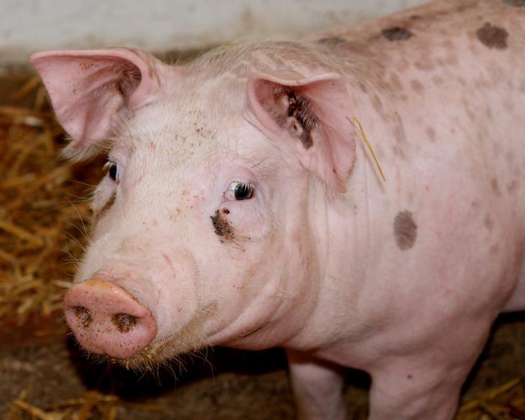В мире может погибнуть 25% всех свиней