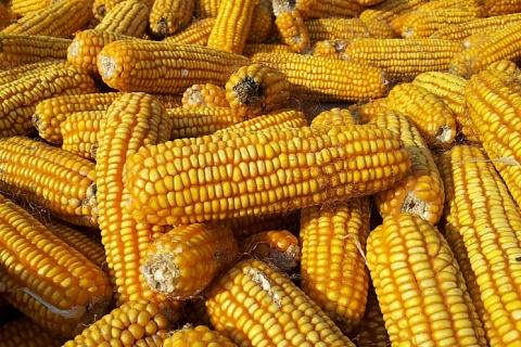 Экспорт кукурузы могут ограничить до 1сентября
