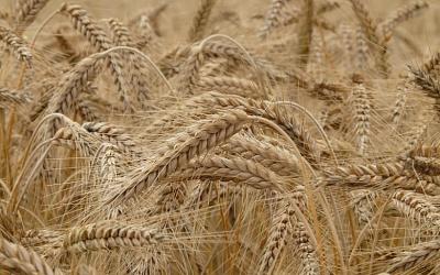 Регионы-лидеры посбору зерна