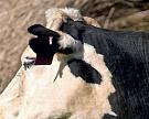 ВКанаде разработан невидимый забор для коров