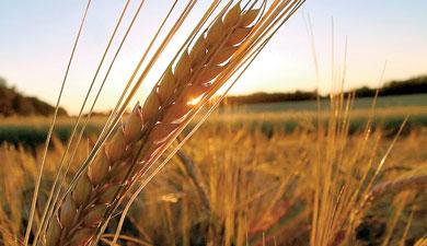 ВНИИБЗР автоматизировал защиту пшеницы