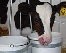 КубГАУ оздоравливает сельхозживотных