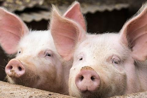 Поголовье свиней в Китае сократилось на треть