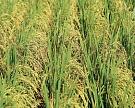 ВШвейцарии вывели сорт риса сбольшим содержанием железа