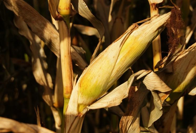 Кукуруза в динамике. Экспертная оценка рынка кукурузы